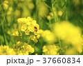 菜の花 ミツバチ 春の写真 37660834