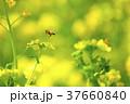 菜の花 ミツバチ 春の写真 37660840