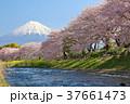 富士山 山 春の写真 37661473