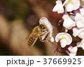 ハーデンベルギア ミツバチ 花の写真 37669925