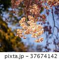 花 さくら サクラの写真 37674142