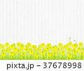 菜の花 菜の花畑 蝶のイラスト 37678998