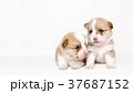 コーギー 兄弟 37687152