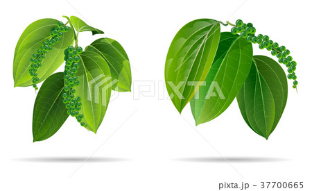 black pepper leaves green isolated on wihte 37700665