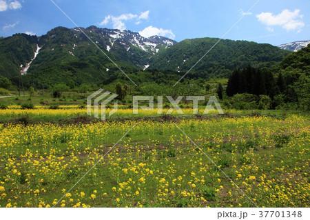 魚沼の菜の花畑と八海山 37701348
