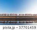 春 桜 桜並木の写真 37701459