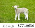 ひつじ ヒツジ 羊の写真 37710630