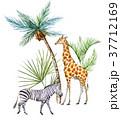 動物 しまうま シマウマのイラスト 37712169