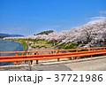 桜 桧木内川 角館の写真 37721986