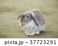 ニンジンを食べる耳が垂れた可愛いウサギ 37723291