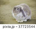 耳が垂れた可愛いウサギ 37723544