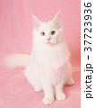 お座りした白い猫 37723936
