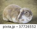 耳が垂れた可愛いウサギ 37726552