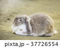 耳が垂れた可愛いウサギ 37726554