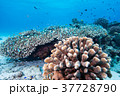 海中 珊瑚 サンゴの写真 37728790