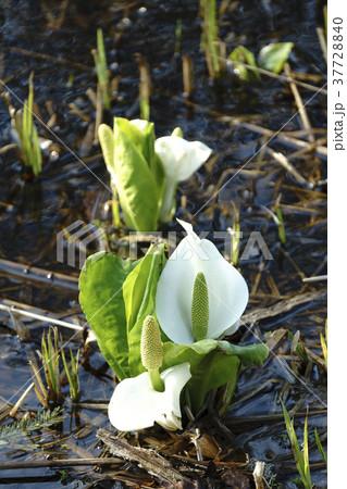 福島県耶麻郡北塩原村国道459号沿いに咲き誇る純白のミズバショウ群生地,朝日に輝く水芭蕉 37728840