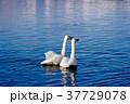 白鳥 鳥 動物の写真 37729078