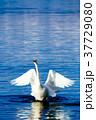 白鳥 鳥 動物の写真 37729080