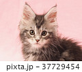 カメラ目線のメインクーンの子猫 37729454