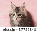メインクーンの子猫 37729848