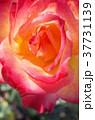 バラ 薔薇 花の写真 37731139