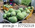 スイカの収穫 37732319