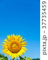 向日葵 青空 夏の写真 37735459