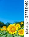 向日葵 青空 夏の写真 37735460