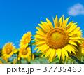 向日葵 青空 夏の写真 37735463