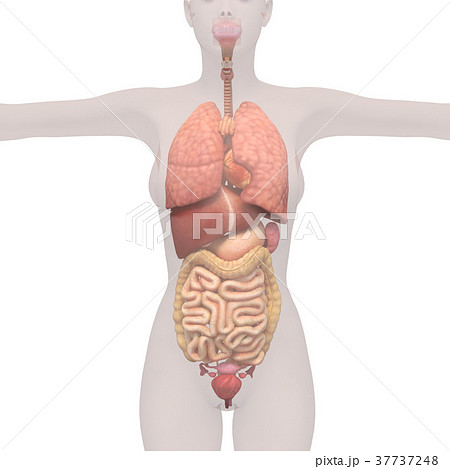 人体標本 女性の骨格と内臓イメージ perming 3DCGイラスト素材 37737248