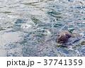 オタリア 37741359