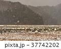 猪苗代湖の白鳥 37742202