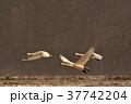 猪苗代湖の白鳥 37742204