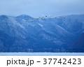白鳥 猪苗代湖 湖の写真 37742423