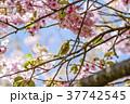メジロ 桜 河津桜の写真 37742545