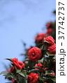 花 椿 植物の写真 37742737