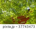 新緑 37743473