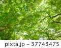 新緑 37743475