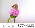 紫詰草 ウラナミシジミ 蝶の写真 37744883