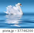 White swan on lake surface 37746200