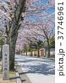 小田原 西海子小路 染井吉野 37746961