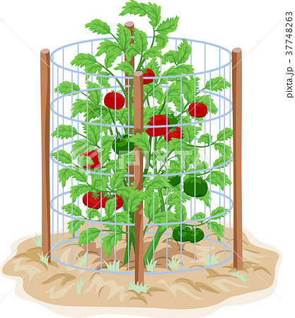Tomato Wire Cage Support Illustration 37748263