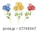 バラ 花 水彩画のイラスト 37749347