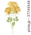 バラ 花 水彩画のイラスト 37749348