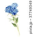 バラ 花 水彩画のイラスト 37749349