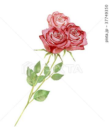 薔薇 花束 水彩 イラストのイラスト素材 37749350 Pixta