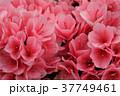 ツツジ つつじ 躑躅の写真 37749461