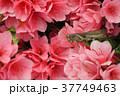 ツツジ つつじ 躑躅の写真 37749463