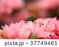 ツツジ つつじ 躑躅の写真 37749465