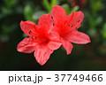 ツツジ つつじ 躑躅の写真 37749466